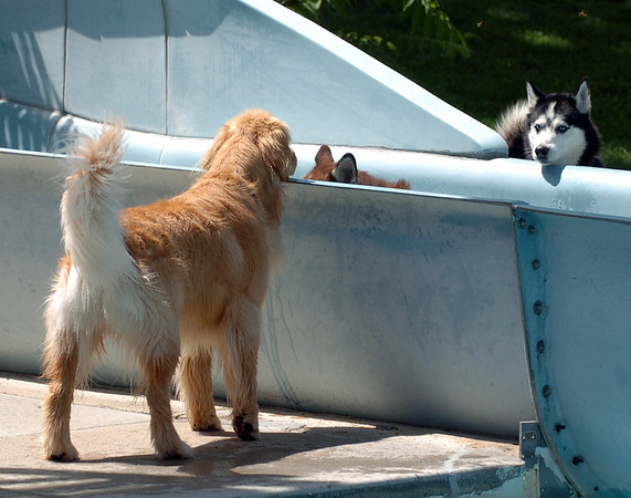 """One of the dogs looks for help from his friends to get off the slide.<br /> The first day of the annual Dog Dayz at Scott Carpenter Pool was held on Wednesday. For more photos and a video of the dogs, go to  <a href=""""http://www.dailycamera.com"""">http://www.dailycamera.com</a>.<br /> Cliff Grassmick / August 18, 2010"""