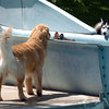 "One of the dogs looks for help from his friends to get off the slide.<br /> The first day of the annual Dog Dayz at Scott Carpenter Pool was held on Wednesday. For more photos and a video of the dogs, go to  <a href=""http://www.dailycamera.com"">http://www.dailycamera.com</a>.<br /> Cliff Grassmick / August 18, 2010"