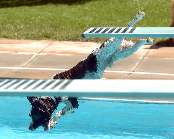 "Rocky the dog takes a dive off the board after a ball.<br /> The first day of the annual Dog Dayz at Scott Carpenter Pool was held on Wednesday. For more photos and a video of the dogs, go to  <a href=""http://www.dailycamera.com"">http://www.dailycamera.com</a>.<br /> Cliff Grassmick / August 18, 2010"