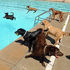 "The first day of the annual Dog Dayz at Scott Carpenter Pool was held on Wednesday. For more photos and a video of the dogs, go to  <a href=""http://www.dailycamera.com"">http://www.dailycamera.com</a>.<br /> Cliff Grassmick / August 18, 2010"