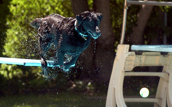 "Jed the dog takes a dive off the board after a ball.<br /> The first day of the annual Dog Dayz at Scott Carpenter Pool was held on Wednesday. For more photos and a video of the dogs, go to  <a href=""http://www.dailycamera.com"">http://www.dailycamera.com</a>.<br /> Cliff Grassmick / August 18, 2010"