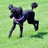 0604 wiener dog races 4