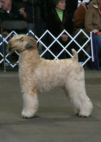 CH. KINCORA TARA GOLD DIGGER<br /> Soft Coated<br /> Wheaten Terrier