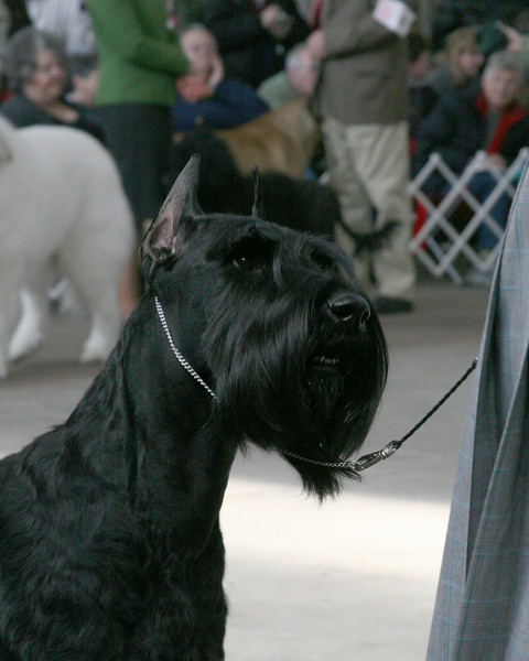 CH. GALILEE'S PURE OF SPIRIT<br /> Giant Schnauzer<br /> ~ Best in Show ~