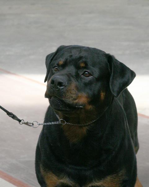 CH. NIGHTHAWK'S X-MAS BONUS,CD,RA<br /> Rottweiler
