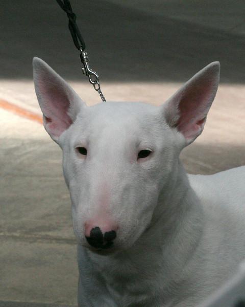CH. DAZLIN DEFIANCE<br /> Bull terrier (white)