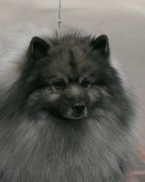 CH. SHERWOOD'S FOR THE FUN OF IT, CD<br /> Keeshond