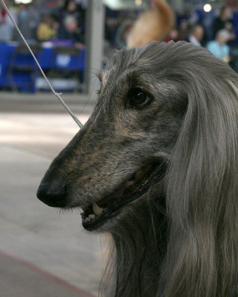 CH. MAHALI IN PAISLEY<br /> Afghan Hound