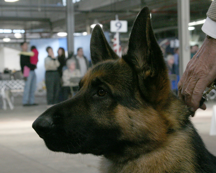 CH. WOODSIDES PACINO<br /> German Shepard Dog