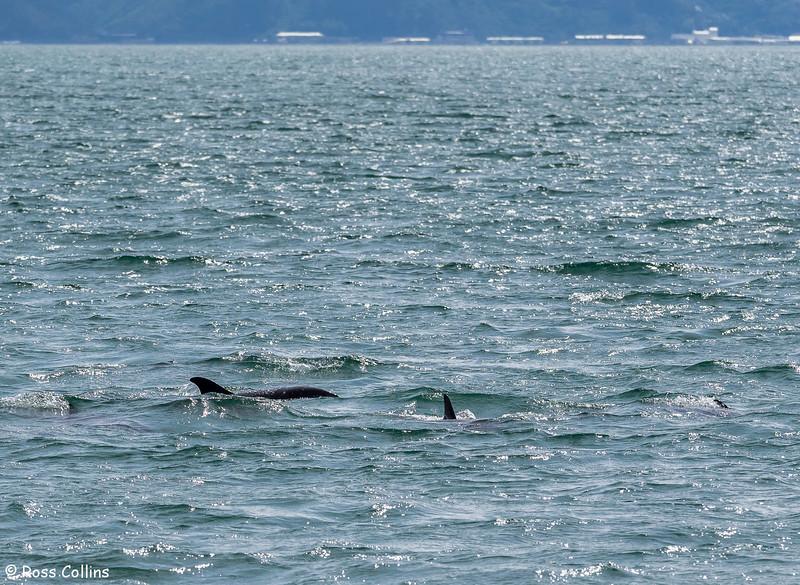 Dolphins off Seatoun Beach, 24 February 2015
