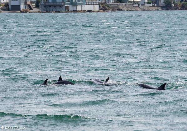 Dolphins off Seatoun Beach 2015