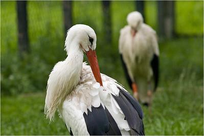 Scratching Stork