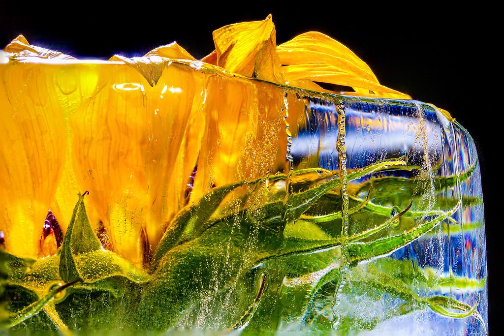 El girasol congelado 2