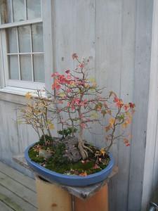 Closeup of a lovely Bonsai arrangement, Nov 4, 2008