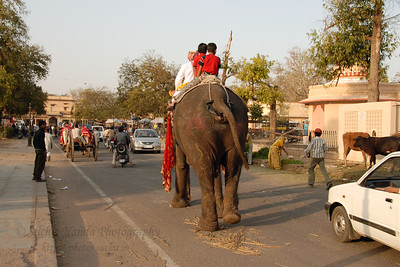 Heading to the Chaugan Stadium venue. Street scene in Jaipur. Elephant Festival 2009 being celebrated in Jaipur on 10th Mach 2009. The elephant festival, Jaipur (Hindi: जयपुर),, is one of the most fascinating events organized in Rajasthan. This one day event coincides with Holi, the Indian festival of colors. The handlers or mahouts decorate their elephants in regal attire, and make them walk in procession at the start of the day. The procession heads to the Chaugan, the vast ground in Jaipur where this festival is hosted. The procession is watched by thousands of tourists and locals. Jaipur, Rajasthan, India.