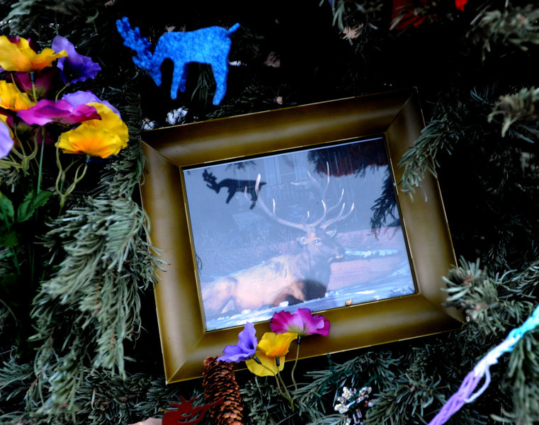 "A framed photo of the elk is in the memorial tree on Mountain View Road in Boulder.<br /> Jim Riemersma was among Mapleton Hill residents holding a candlelight vigil Sunday evening, celebrating the life of the fallen elk.<br /> For a video and more photos of the vigil, go to  <a href=""http://www.dailycamera.com"">http://www.dailycamera.com</a>.<br /> Cliff Grassmick  / January 6, 2013"