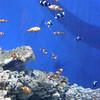 A lot of clownfish