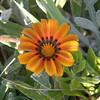 a Gaillardia blossom
