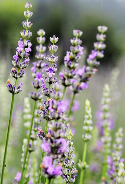 Seven Oaks lavender farm promo