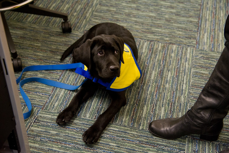 Render, the service dog during training at TAMU-CC.