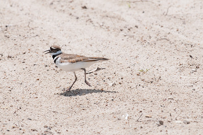 A wilson's plover on the university beach.