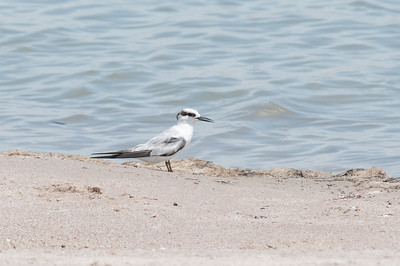 A young tern, rests by the water on the university beach.