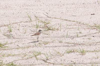 A killdeer on the university beach.