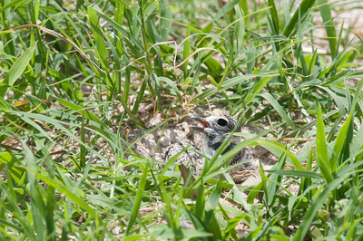 A newly hatched Wilson's Plover chick next to a camouflaged egg that has yet to hatch.