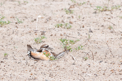 "A killdeer displays it's ""broken wing act"" to distract predators from the nest. On the TAMU-CC University Beach."