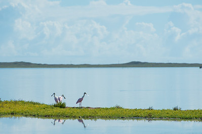 Roseate spoonbills feed by the Laguna Madre Field station.