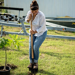 Student Dorothy Peña planting a fruit tree.