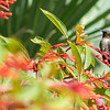 A ruby throated humming bird on campus.