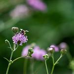 A bumble bee at the Islander ECDC Garden.