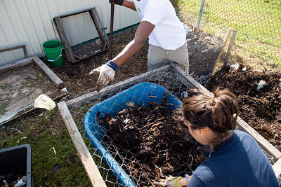 Students volunteer at the Islander Green Garden to move compost from one stage to another.