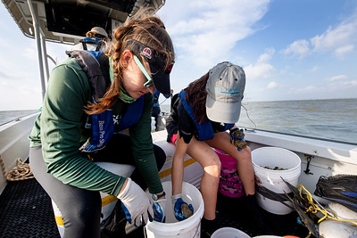 Danielle Zimmermann (left) and Desiree Corbiere sort through their harvested oysters, taking count of live and dead oysters.