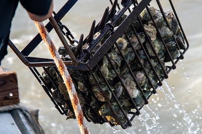 Fresh oysters are dredged from the Aransas Bay site.