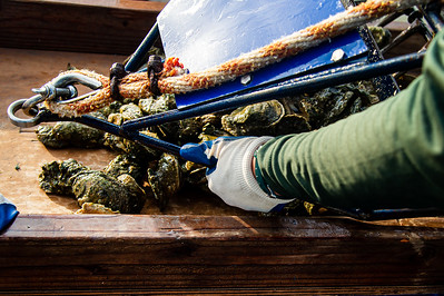 Danielle Zimmermann empties oysters on to the boat.