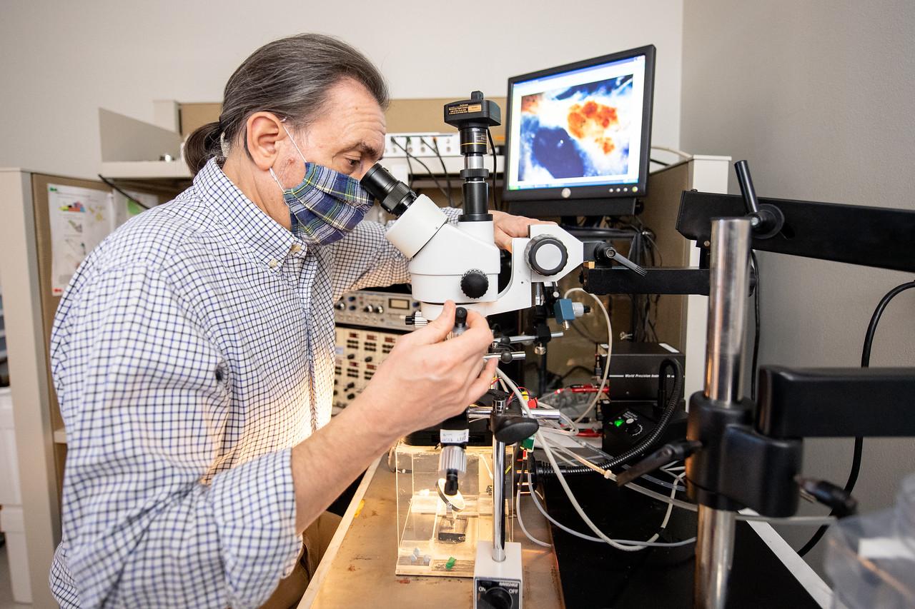 Dr. Riccardo Mozzachiodi looks at a Aplysia Californica's membrane under a microscope.