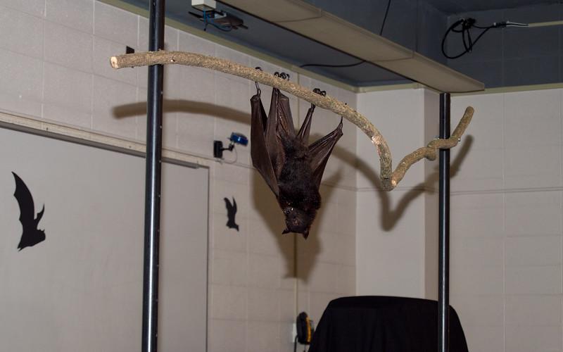 Bat Festival