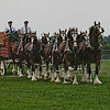 Budweiser Clydesdales  horses     August 2005