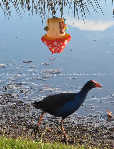 Pukeko and reflected mushroom hot air balloon, Balloons over Waikato, 2010.