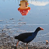 Pukeko and reflected mushroom hot air balloon, Balloons over Waikato, 2010.