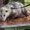 Opossum from Palm Beach Zoo