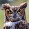 Great Horned Owl from Palm Beach Zoo