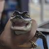 <b>Baby Alligator from Okeeheelee Nature Center</b> Everglades Day, February 9, 2013 <i>- Tony Lang</i>