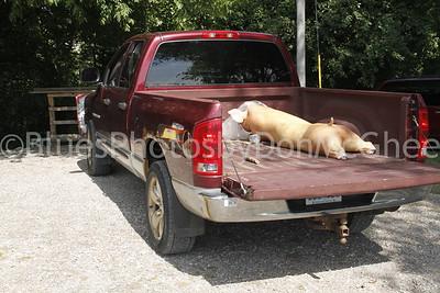 Heatstock pig
