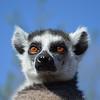 Goossens Nolan_King of Monkeys_50x50 Xposer