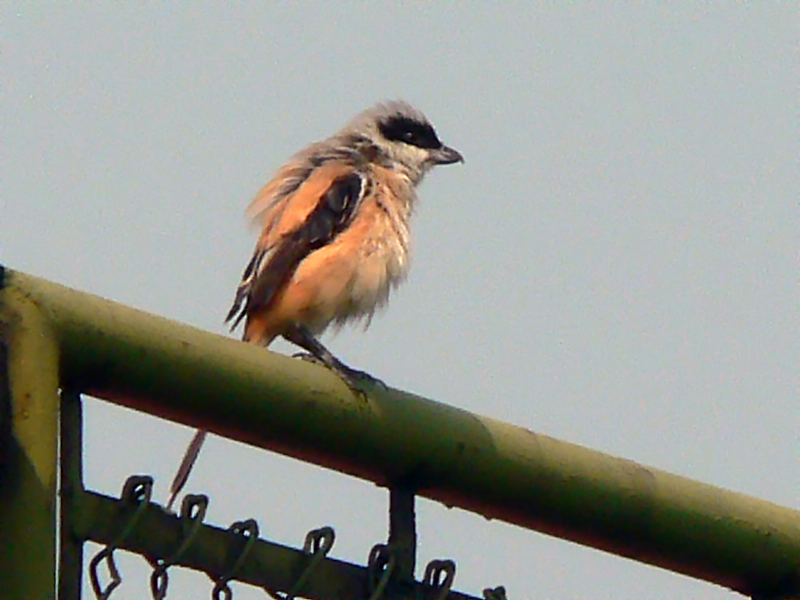 Another look on that bird using digital zoom. Tried to get nearer for a better shot but it panicked and flew out.