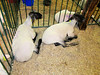 Sheep<br /> Elkhart County 4H Fair 2012