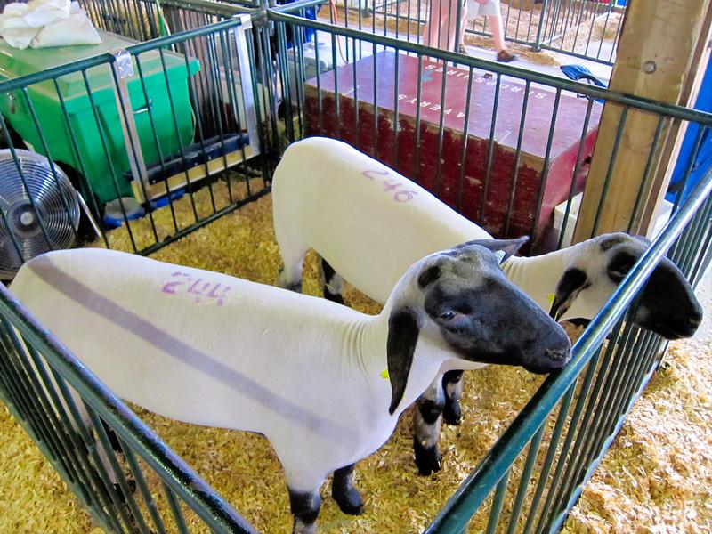 Sheep<br /> Elkhart County 4H Fair 2012